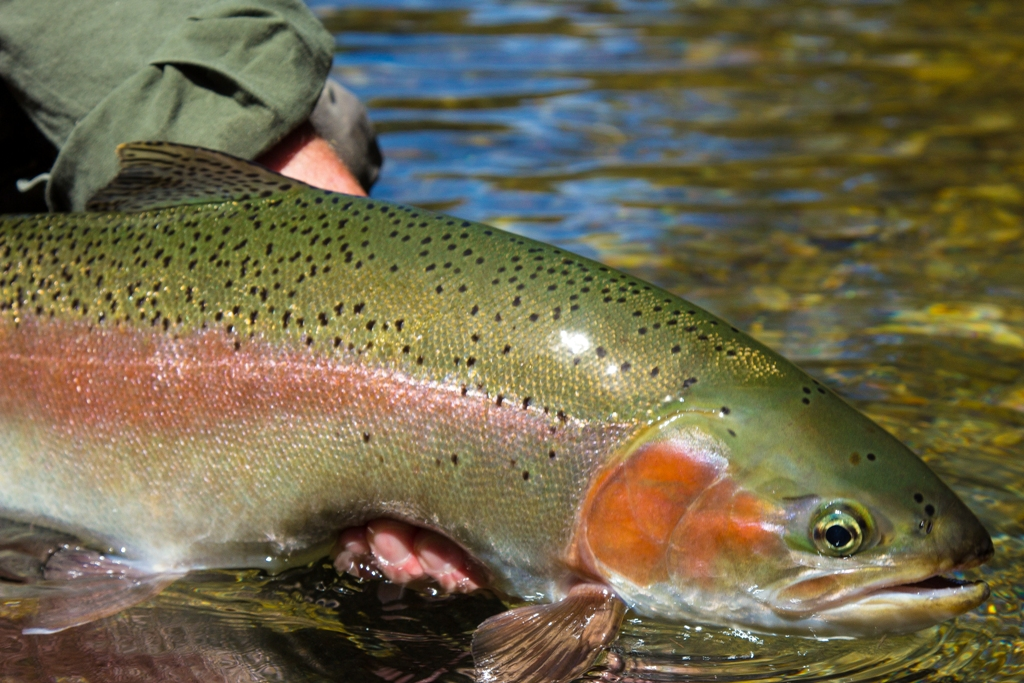 Fishing in new zealand tongariro lodge aardvark mcleod for New zealand trout fishing