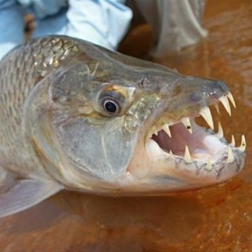 Tanzania tigerfish Mnyera Rhudji rivers fishing
