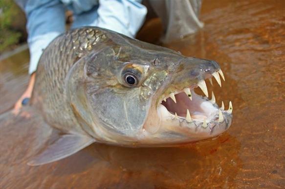 Tanzania tigerfish Mnyera Rhudji rivers fishing