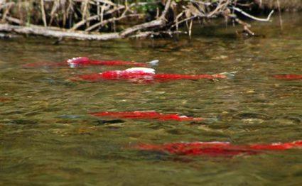 Nushagak Wilderness Camp, Alaska, Aardvark McLeod, king salmon, coho salmon, sockeye salmon, chum salmon, dolly varden, trout, grayling northern pike