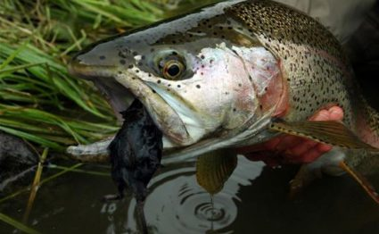Zendzur Lodge, Zhupanova, Kamchatka, fishing in Kamchatka, rainbow trout, Russia, Aardvark McLeod