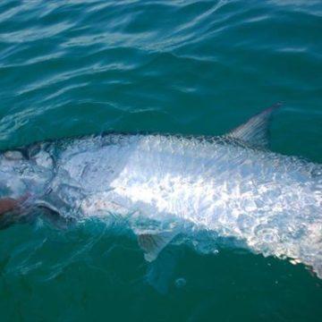 Tarpon fishing, Isla Holbox, Mexico, Aardvark McLeod