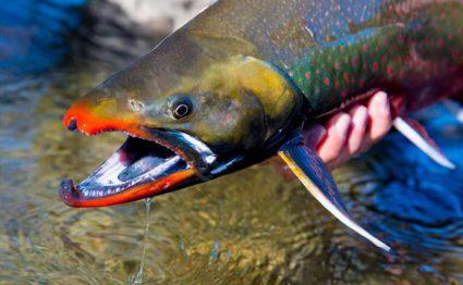 Mission Lodge, Alaska, Aardvark McLeod, Pacific salmon, rainbow trout, arctic char, dolly varden, arctic grayling, lake trout, northern pike, fishing Alaska