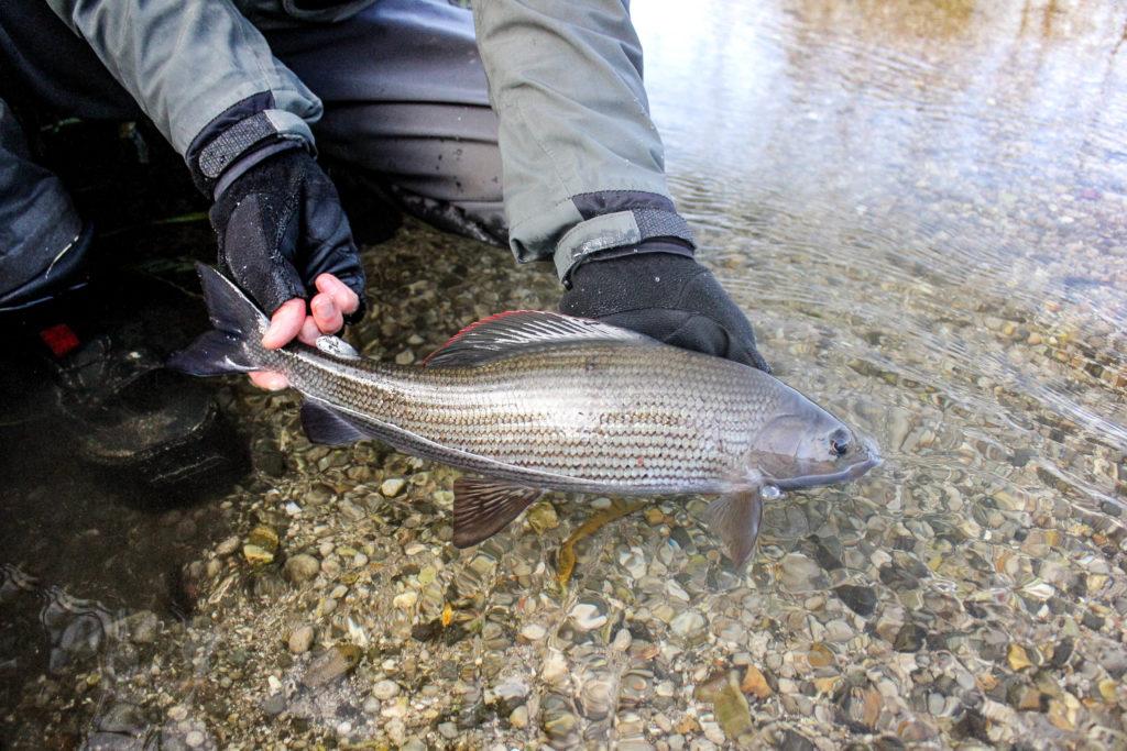 Grayling chalkstream fly fishing, River Kennet Chalkstream fly fishing, Dry Fly Fishing, Alex Jardine, Aardvark McLeod Dry Fly Fishing