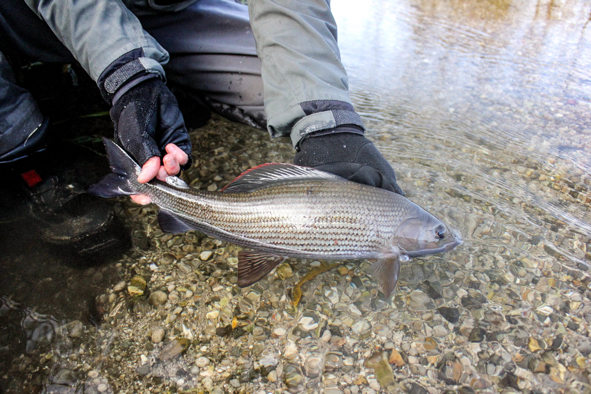 Grayling chalkstream fly fishing, River Kennet Chalkstream fly fishing, Dry Fly Fishing, Alex Jardine, Aardvark McLeod Dry Fly Fishing