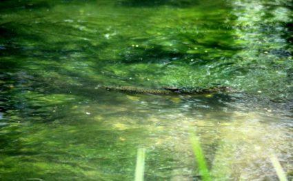 Brown Trout, River Itchen, Aardvark McLeod, Chalkstream fishing