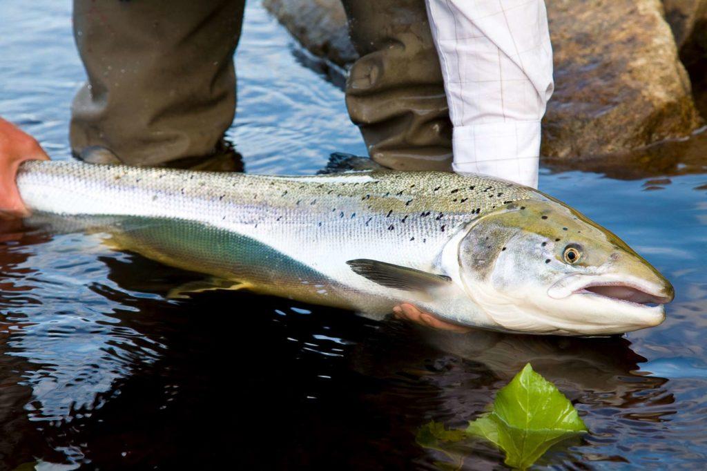 ponoi, ryabaga camp, russia salmon, kola peninsula salmon, salmon flies russia, fishing russia, aardvark mcleod