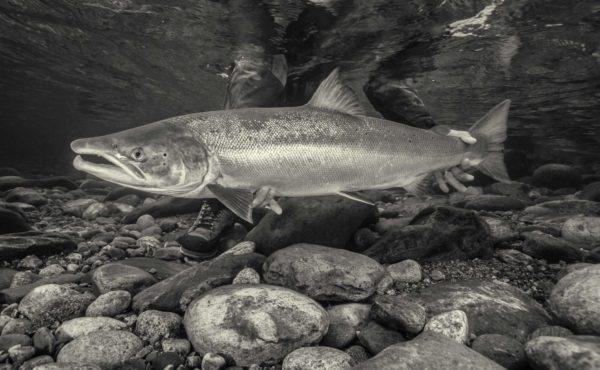 Gaula River, Winsnes Lodge, Norway, Atlantic salmon