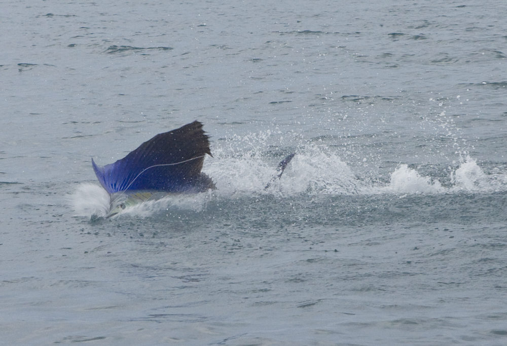 Sailfish, Aardvark McLeod