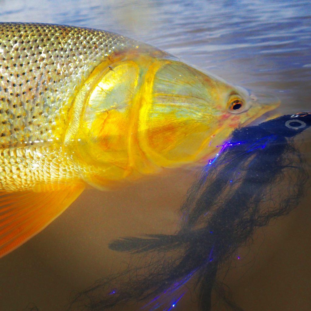 Golden dorado river cruiser argentina client trip for Golden dorado fish