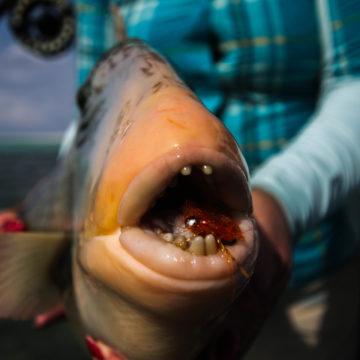 Astove Seychelles fishing holiday Aardvark McLeod triggerfish
