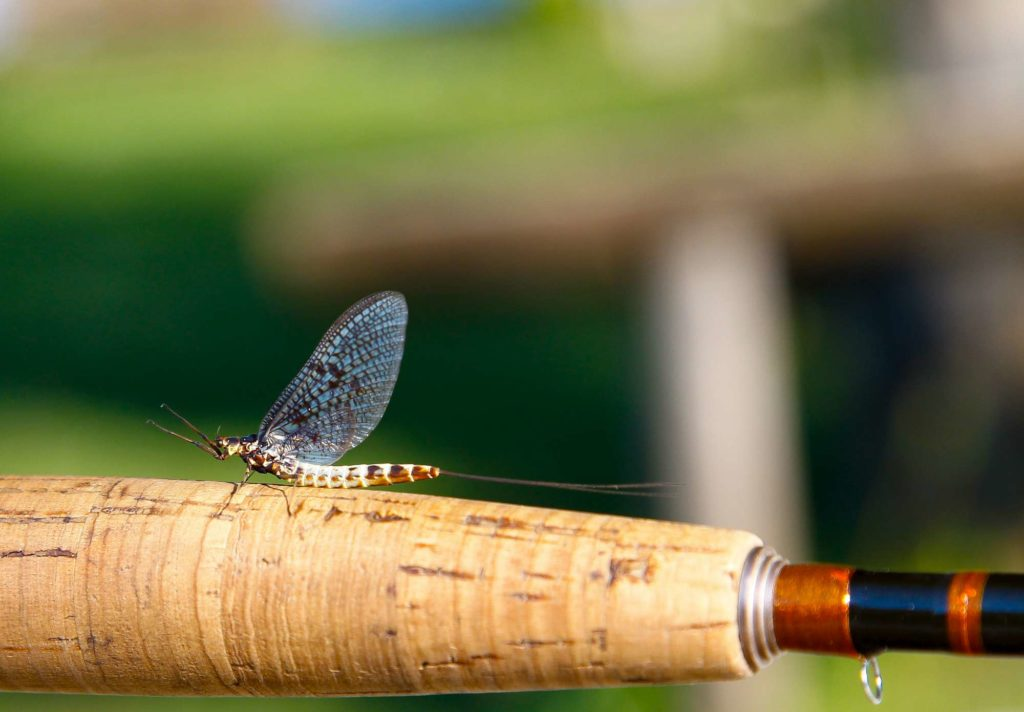 Bosnia, Mayfly, Fly Fishing, Brown Trout, dry fly fishing