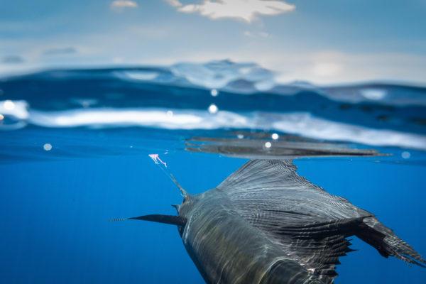 Blue Marlin Mothership Expedition, Costa Rica, Aardvark McLeod