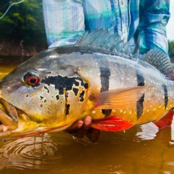 Rio Marie, peacock bass, fishing brazil, untamed angling, matt harris, aardvark mcleod