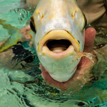 Alphonse Island, Seychelles, fishing, Indian Ocean fishing, GT, giant trevally, bonefish, triggerfish, milkfish, beach holiday, Aardvark McLeod