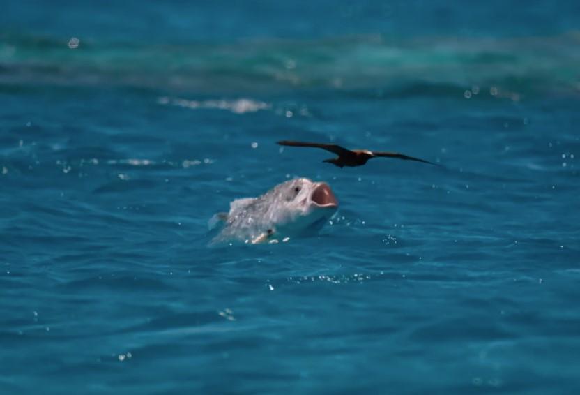 GT eats bird, Farquhar Atoll, Seychelles, Aardvark McLeod
