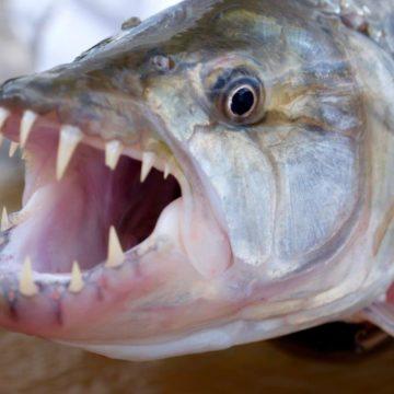 Tanzania, fishing, toothless tiger, Hydrocynus tanzaniae, tigerfish, Aardvark McLeod