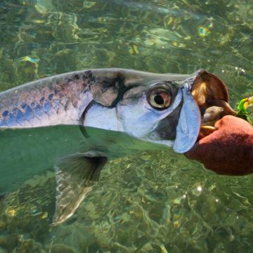 Cuba, fishing in Cuba, Cuba Zapata, Cuba bonefish, Cuba tarpon, Cuba permit, Cuba Cayo Largo fishing, Cuba Jardines de la Reina fishing, Cuba Gardens of the King fishing, Cuba Jardines del Rey fishing