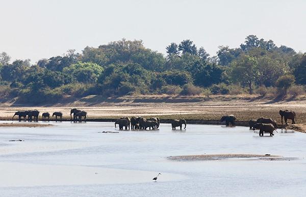 Zambia Impala, Zambia Luangwa National Park, South Luangwe, Zambia Nkwali, Zambia Nsefu, Robin Pope Safaris, Zambia, Zambia Safari, Zambezi rafting, Zambezi bungee, Zambia holiday, Zimbabwe safari