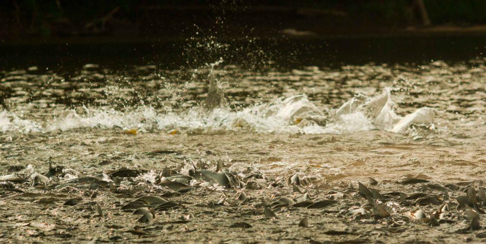 Bolivia Tsimane Agua Negra Dorado