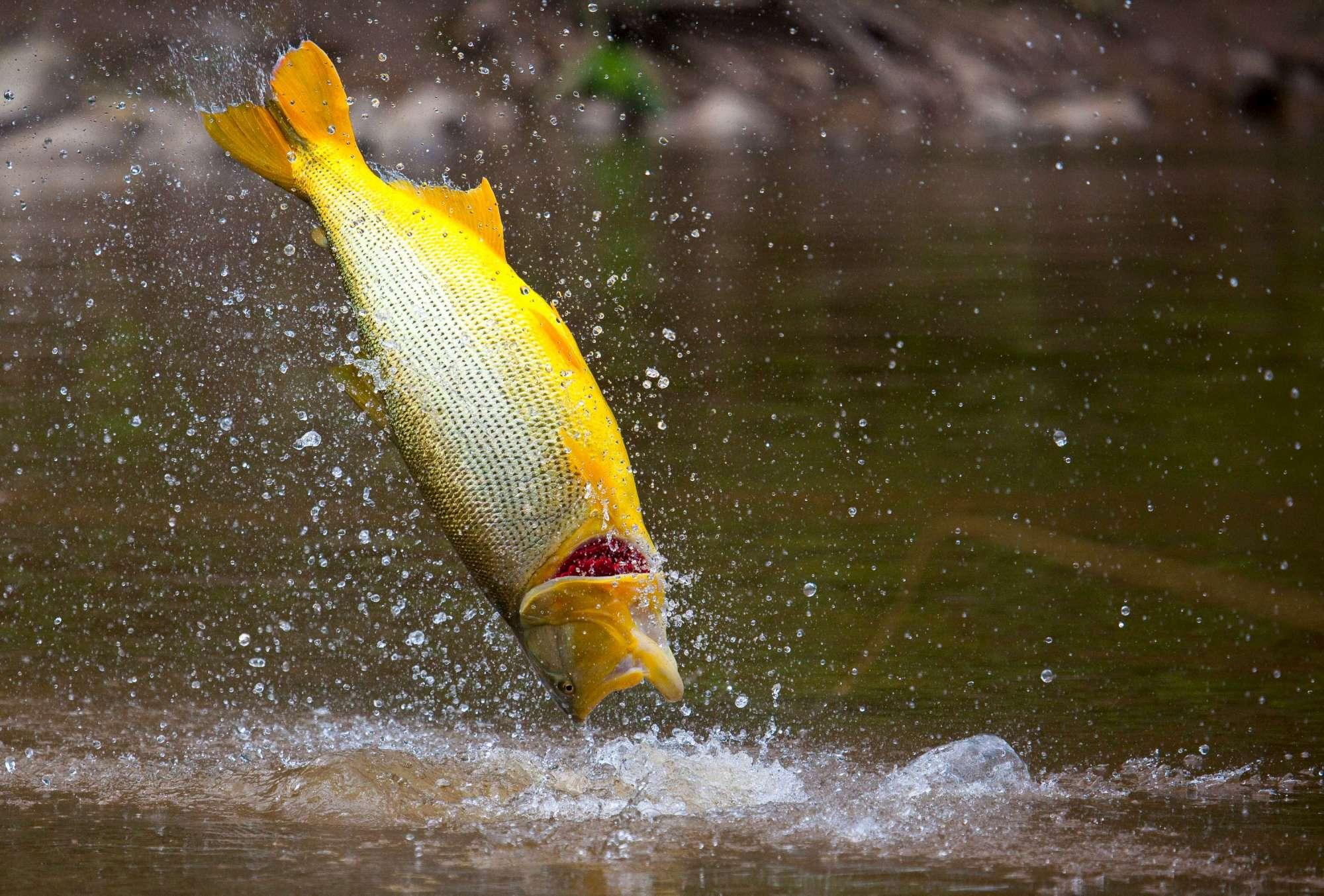 Golden Dorado River Cruiser, fly fishing golden dorado, golden dorado fishing, catching golden dorado, fishing Argentina, Estancia Laguna Verde, popper fishing, fly fishing tips, aardvark mcleod