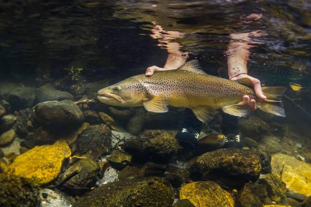 Lisa Isles New Zealand, trout fishing New Zealand, Sight Fly Fishing New Zealand, Brown Trout New Zealand, Owen River Lodge New Zealand