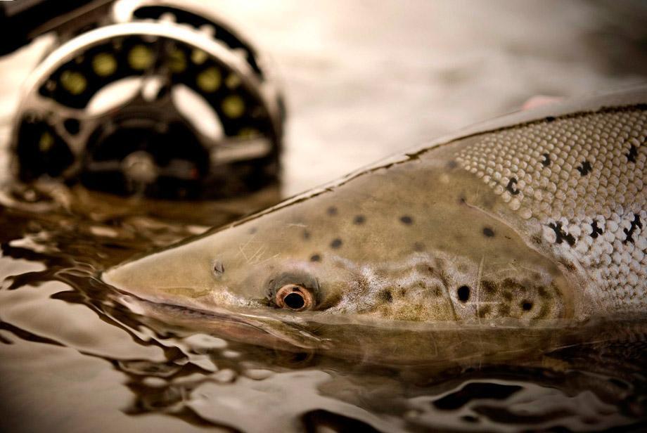 Salmon Fishing Midfjardara River Iceland