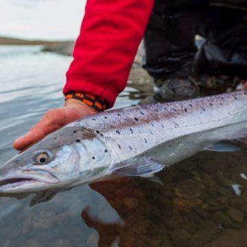 Sea trout, rio grande, tdf, tierra del fuego, sea run brown trout, argentina, fishing sea trout argentina, rio menendez, sea trout flies, huge sea trout, aardvark mcleod, emb lodge