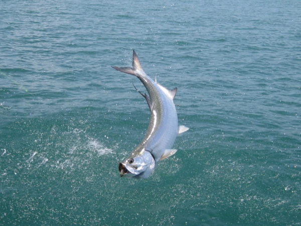 Tarpon, Silver King Lodge, Costa Rica, Aardvark McLeod, tarpon fishing,