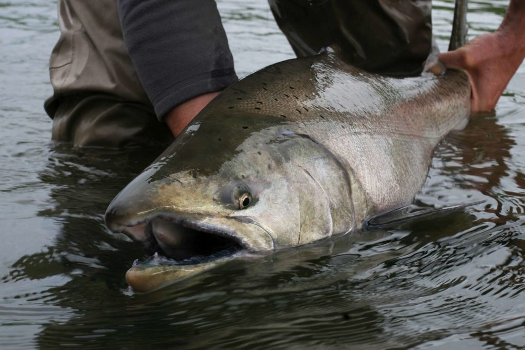 fishing alaska, fishing aleutian adventures, fishing hoodoo river, steelhead alaska, steelhead fishing alaska, king salmon fishing, king salmon fishing alaska, aardvark mcleod
