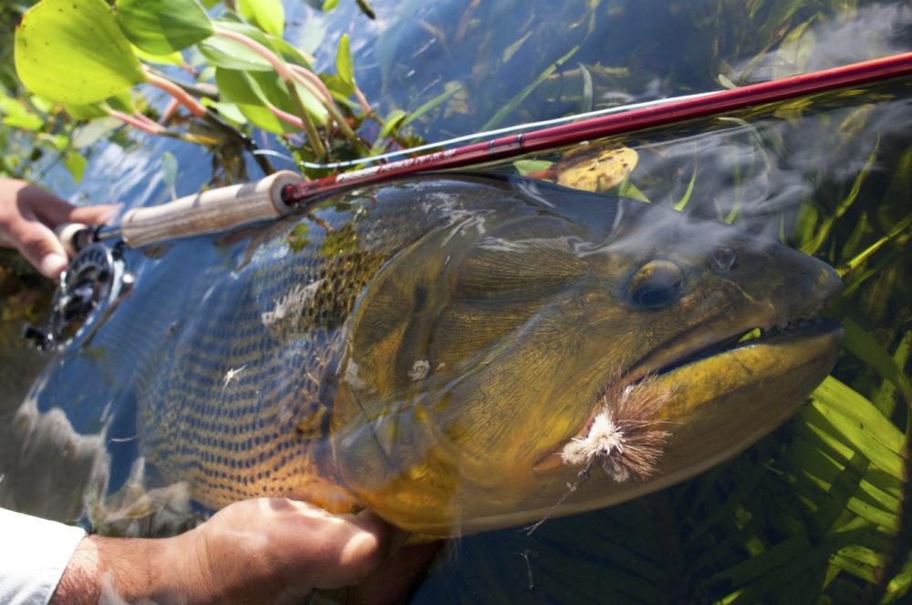 Argentina, Pira Lodge, Golden Dorado, fishing for golden dorado, Esteros del Ibera, Aardvark McLeod