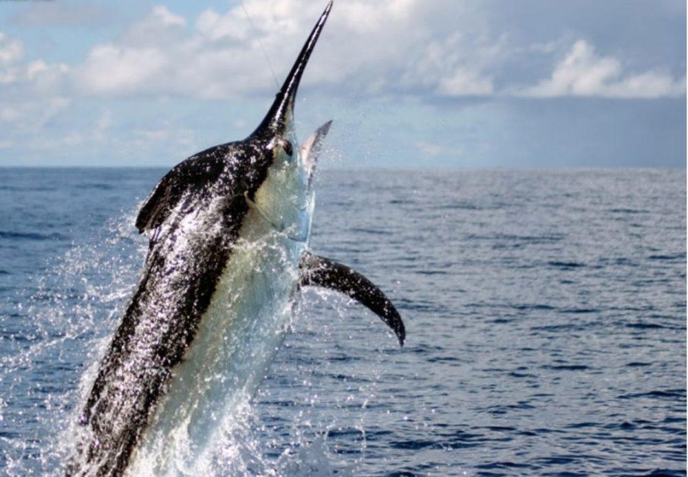 Tropic Star Lodge, Panama, bluewater fishing, marlin fishing, blue marlin, Aardvark McLeod