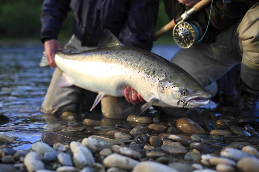 Gaula River, Norwegian Flyfishers Club, NFC, Norway, Atlantic salmon