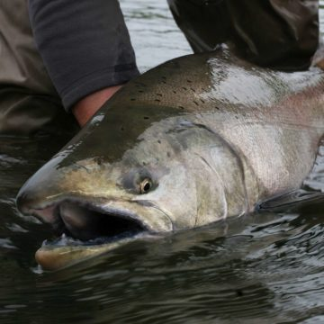 fishing alaska, fishing aleutian adventures, fishing hoodoo river, steelhead alaska, steelhead fishing alaska, king salmon fishing, king salmon fishing alaska, aardvark mcleod