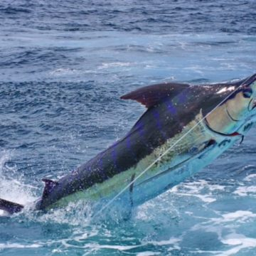 Tropic Star Lodge, Panama, bluewater fishing, marlin fishing, blue marlin, Aardvark McLeod