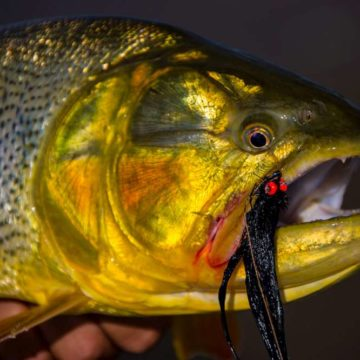 Golden dorado, Aardvark McLeod, dorado fishing Argentina, Estancia Laguna Verde, fly fishing argentina, dorado river cruiser, dorado fishing mothership, dorado fishing buenos aires, brett o'connor, dorado fishing with fly, dorado river cruiser mothership