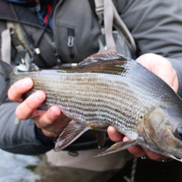 chalkstream fly fishing, Grayling, UK fishing Guide, river fishing, Aardvark McLeod