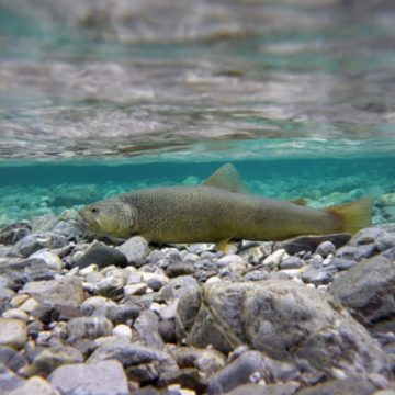 Slovenia, fly fishing Slovenia, dry fly fishing Slovenia, trout fishing Slovenia, Marble Trout Slovenia, Fly Fishing Guide Slovenia