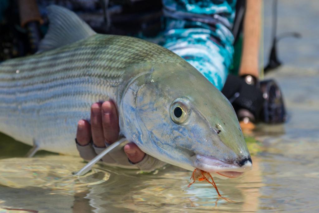 Bonefish, Seychelles, Aardvark McLeod