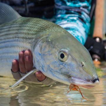 Bonefish, Providence Atoll, Seychelles, Aardvark McLeod