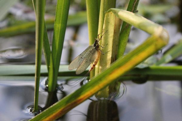 Mayfly, chalkstream fishing, Aardvark McLeod