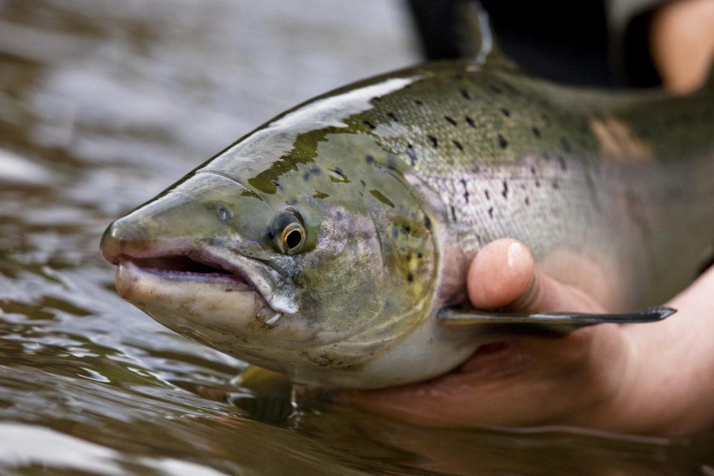 Atlantic salmon, Nordura, Iceland, Aardvark McLeod