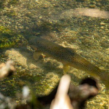 Mayfly fishing, Wherwell Estate River Test, chalkstream fly fishing, river test