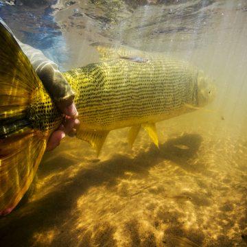 Golden Dorado, Boliva, Aardvark McLeod
